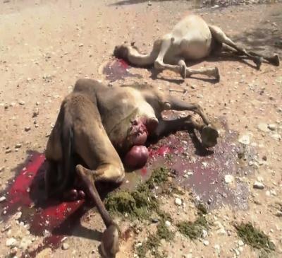 Hewan-hewan Ternak Warga Yaman yang Terkena Serangan Pesawat Saudi